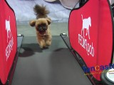 Dog  Digs  the  Treadmill..