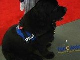 Apollo, The 197-Pound Newfoundland