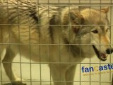 Wolves Are Highly Misunderstood