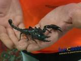 Pet Scorpions