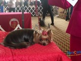 Toy Dogs Rule at Progressive Dog Show