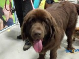 200 Pound Newfoundland Takes Shortcut to Capture Lure