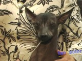 The Amazing Xoloitzcuintli: Mexico's Ancient Breed