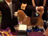 Beagle named Uno wins Best In Show at 132nd Westminster Kennel Club Dog Show